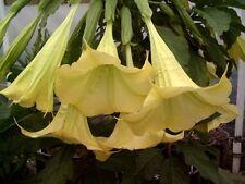 Baum-Brugmansia, Engelstrompete,gelb,yellow,Supergrosse Blüten, 5 Samen, 5 seeds