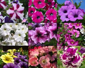 400+ Samen Aufrechte Petunie - Mix - Petunia x hybrida seeds - Dauerblüher