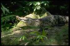 416034 saltwater crocodile Crocodylus POROSUS A4 papier photo