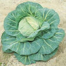 Kings Seeds - Cabbage Spring Hero F1 - 115 Seeds