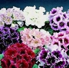 Gloxinia - Empress Mixed - 25 Seeds