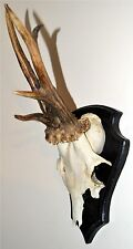 Abnormal Black Forest Roe Deer Buck Antlers Hunting Trophy Rehbock Geweih.