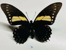 Papilionidae Papilio aristeus male a1 mounted Pérou tingo maria
