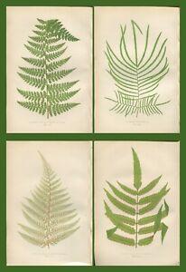 Lot of 4 LOWE Antique Fern Prints Botanical fern MARATTIA ALSOPHILA Lot 49
