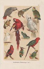 Papageien Wellensittich Lori Arara CHROMOLITHOGRAPHIE um 1900 Kakadu