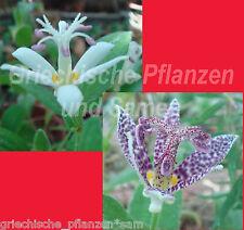 Krötenlilie ** Tricyrtis hirta ** mehrjährig * 20 Samen