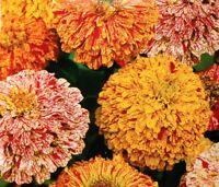"""Dahlia-flowered zinnia """"Peppermint Stick"""" - dotted flower - 120 seeds"""