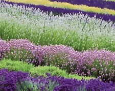 MOST FRAGRANT! 30+ WHITE,  RED & PURPLE LAVENDER MIX FLOWER SEEDS / PERENNIAL