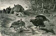 Birds Moor Cock mating on Heath Moorcock red grouse 1894 art Antique/Vtg Print