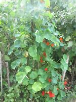 "WATERCRESS Nasturtium officinale 1500 seeds+4/"" FREE REUSABLE PLANT LABEL"