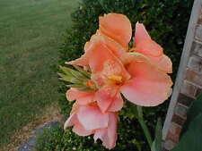 1 Princess Di Canna Lily Bulb Well Rooted Tropical Tubar Rhizome