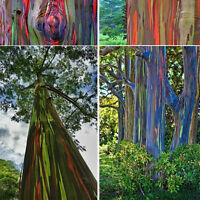 50 Regenbogen Eukalyptus Seeds  gratis deglupta Mindanao Gummi