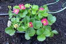 strawberry - PINK FLOWERING, 3 LIVE PLANTS!  GroCo USA