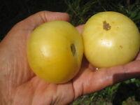 15 graines semences Tomate BEAUTE BLANCHE du CANADA Seeds Tomato  France  bio