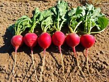 VEGETABLE  RADISH CRIMSON GIANT 1000 SEEDS