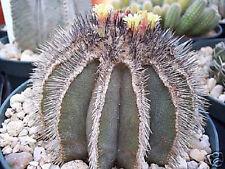 Uebelmania pectinifera, rare cactus cacti seed 10 SEEDS