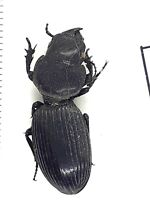 Beetle,ground beetles, 30365, Carabidae,Scaritinae sp. from MALAWI,RARE LOCALITY