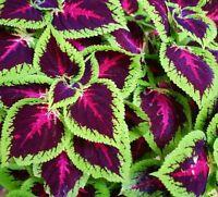 Coleus, Painted Nettle  - Plectranthus scutellarioides - - 330 seeds