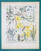 BOTANY Shrubs Restharrow Spanish Broom Fumitory Milkwort - 1845 H/C COLOR Print