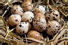 Ovos de codorna para incubação