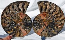 "RARE 1 in 100 BLACK PAIR Ammonite Crystal LARGE 155mm Dinosaur FOSSIL 6.1"" n2279"