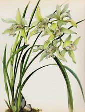 Botanical White ORCHID Print Vintage Flower Print Cottage Decor Cymbidium #1609