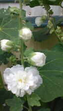 Hollyhock Double AND Single White (Althaea Rosea) Perennial 100+SALE