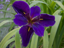Live Cold Hardy Louisiana Black Gamecock Iris Aquatic Marginal Pond Plant