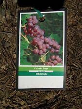 Catawba Grape 3 Gal. Live Healthy Vine Plants Vines Plant Sweet Grapes Vineyards