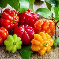 Surinam Cherry Eugenia uniflora LIVE PLANT Pitanga Brazilian tropical fruit tree