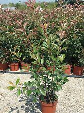 6 x PHOTINIA davidiana-sempreverde Inverno Wild Bird SIEPE arbusto in vasi di 9 cm