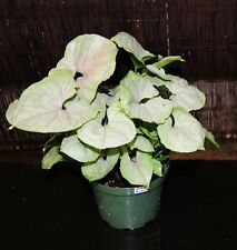 """LARGE 6"""" Syngonium Bold Allusion Arrowhead Shipped in Pot Tropical House Plant"""