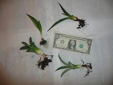 Lot of (4) small Agave Succulents. variegated, green, blue, variegata smooth.