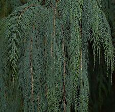 18 Semillas  CUPRESSUS CASHMERIANA - Cipres de Butan - Jardín  Samen Semi Garden