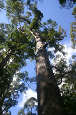 Jarrah (Eucalyptus marginata) The Honey King - 100 Seeds