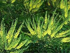 More details for mahonia × media winter sun evergreen winter flowering shrub plant 30-40cm