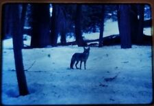 Kodachrome Slide 1970s Coyote Snow Tree Hunt Yosemite California Forest Branch