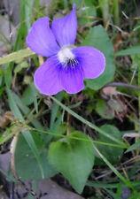 5 Fresh Arkansas Wild Common Violet Taproots Live Plants Perennial Flower Bulbs