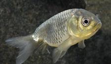 PREMIUM Black Lionhead Goldfish REGULAR live freshwater aquarium fish
