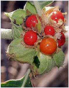 50 INDIAN GINSENG Withania Somnifera Ashwagandha Seeds *Comb S/H