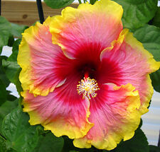 New Simple Pleasures Tropical Exotic Hibiscus Plant Rosa Sinensis