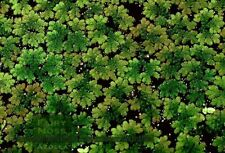 8,000+ Organic Azolla Fairy Moss Floating Moss  the good stuff healthy for fish