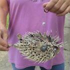 9 inch Porcupine Blowfish Puffer fish w/hanger taxidermy #43411
