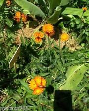 2 plantes Hieracium aurantiacum, Epervière orangée,