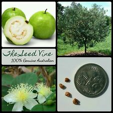 30+ YELLOW GUAVA TREE SEEDS (Psidium guajava) Edible Tropical Fruit Health