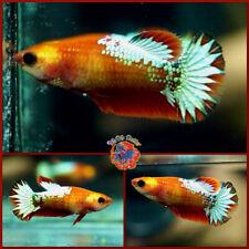 New listing Live Betta Fish Female Green Marble Red Dragon Star Tail Halfmoon Plakat #E487
