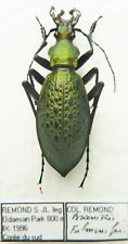 Carabus coptolabrus smaragdinus fulminifer (male A1) from SOUTH KOREA