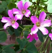 10 Semillas Rosa oxalidaceas Shamrock Hierro Cruz Suerte Trébol Madera Acedera Jardín de Plantas