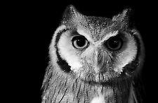 Encadrée imprimer-hibou noir et blanc (photo poster animal oiseau de proie art flying)