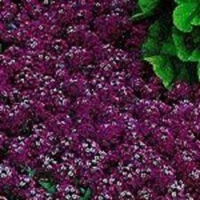 60+ Oriental Nights Maroon Alyssym Flower Seeds Mix / Perennial